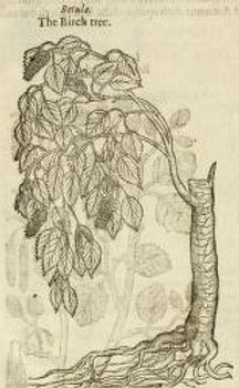 Birch tree from J. Gerard's Heball