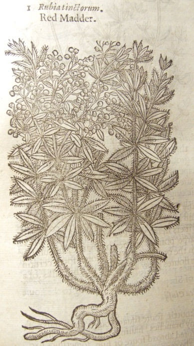 Gerard 1597