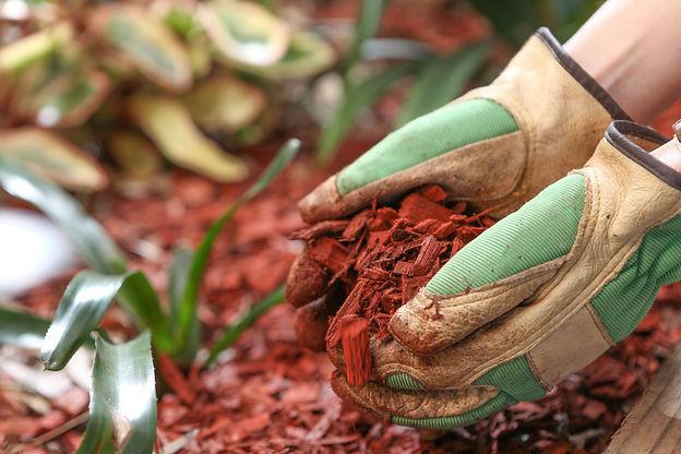 Mulching the garden with red cedar wood