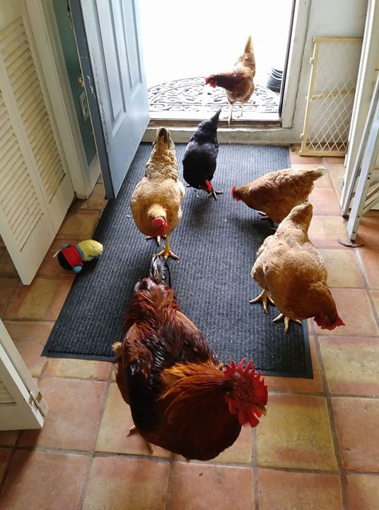 chickens invading house