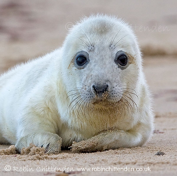 021 Grey Seal (Halichoerus grypus) Norfolk Engalnd GB UK December 2005 cp stamp crs 130dpi