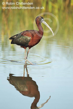 Below is the original photograph of the Glossy Ibis.jpg It was flipped and cropped before use on the
