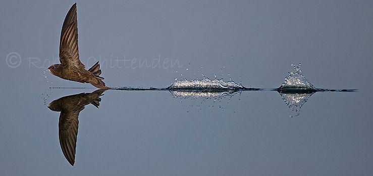 146 Common Swift (Apus apus) Norfolk GB