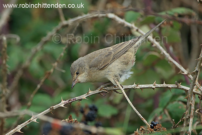 217 Barred Warbler (Sylvia nisoria) Norfolk UK GB Great Britain September 2014 cp crs 130d