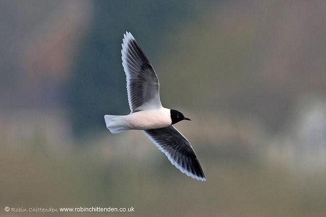 463 Little Gull (Larus minutus) Thorpe M