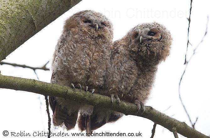 628 Tawny Owl (Strix aluco) Norwich UK G