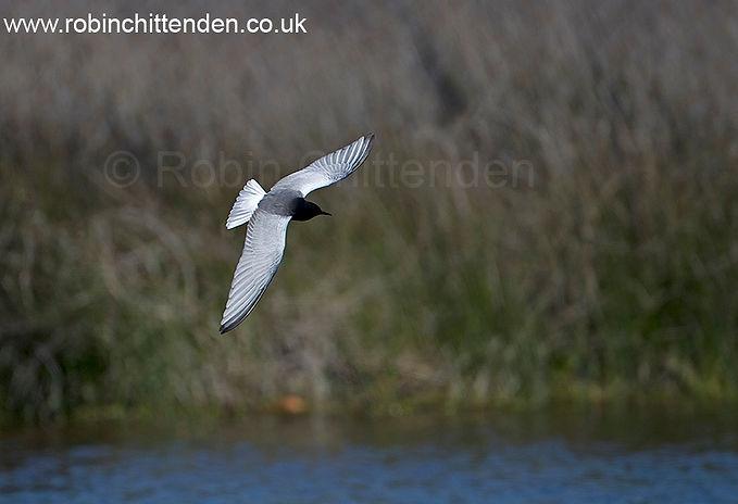007 White-winged Black Tern (Chlidonias
