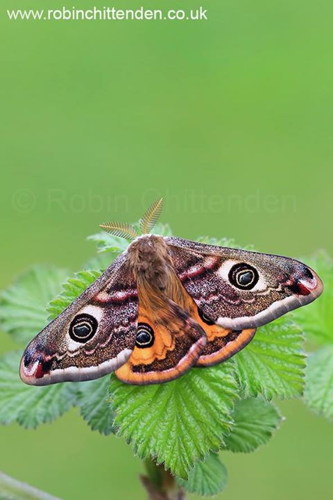 Thanks James Lowen for the invite to see (& photograph) this lovely Emperor Moth