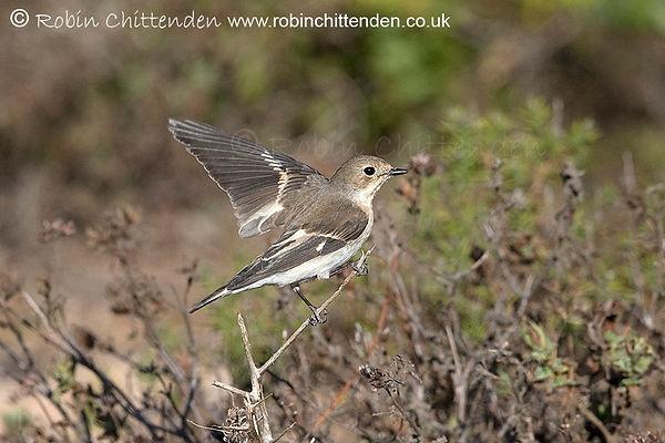 051 Pied Flycatcher (Ficedula hypoleuca) Algarve Portugal PT October 2019 cp crs 130dpi.jp
