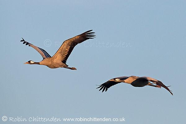312 Common Crane (Grus grus) Norfolk GB UK February 2019 cp crs 130dpi.jpg