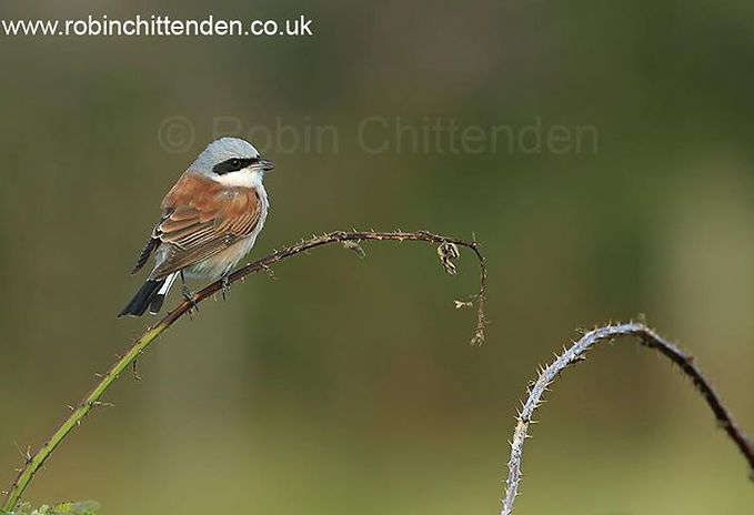 This male  Red-backed Shrike has been summering at Winterton and has been photographed 'to