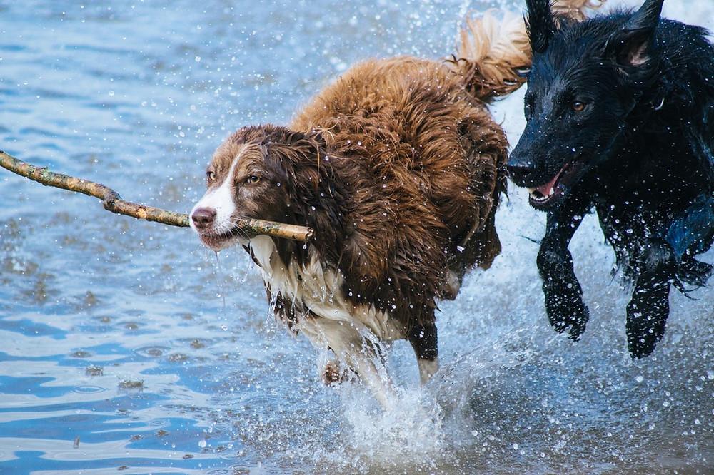 water, play, dog, animal, canine, jumping, pet, action, mammal, playing, splashing, playful, dogs, fun, happy, vertebrate, newfoundland, active, stick, dogs playing, dog like mammal