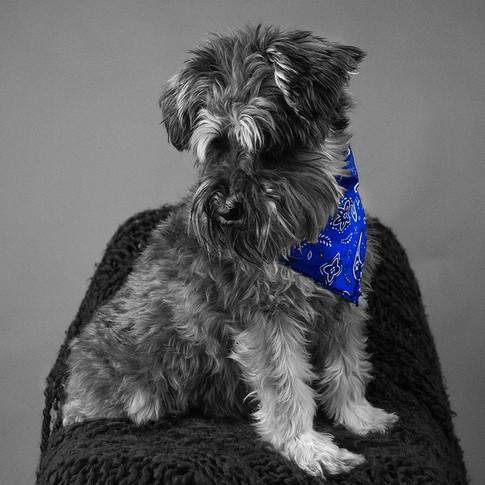 Fluffy dog modelling blue bandana