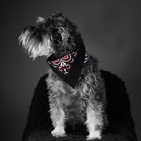 black bandana worn by lovely dog