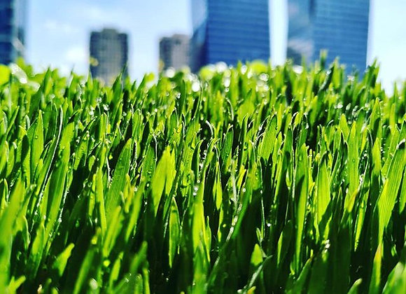 Wheat Grass micros עלי מיקרו עשב חיטה