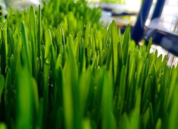 עלי מיקרו שעורה  Barley Microgreens