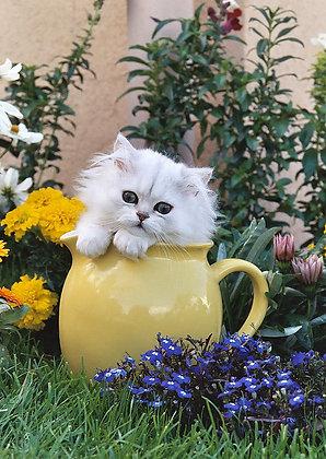 Carte chaton persan chinchilla