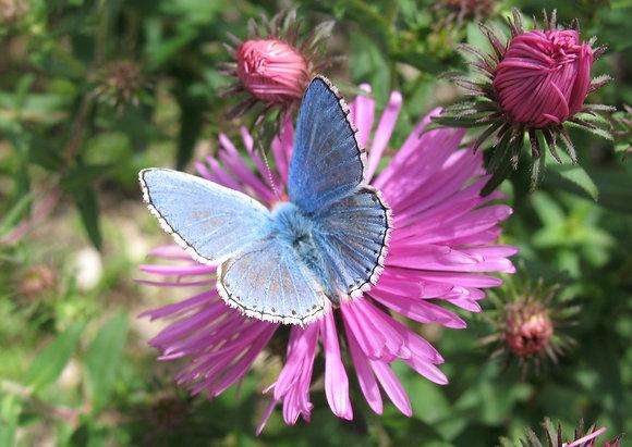 Carte papillon & asters