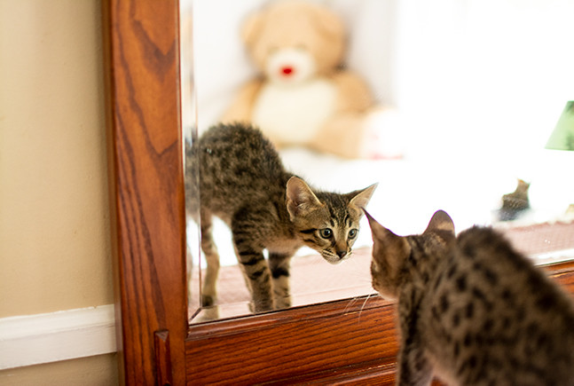 F6 Male Savannah Kitten