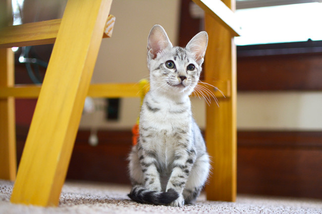 F6 Female Savannah Kitten