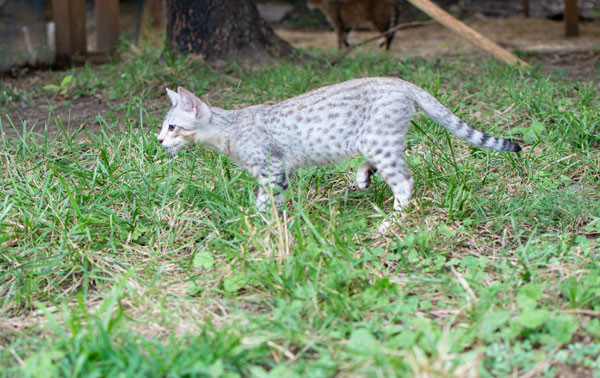 F3 Male Savannah kitten