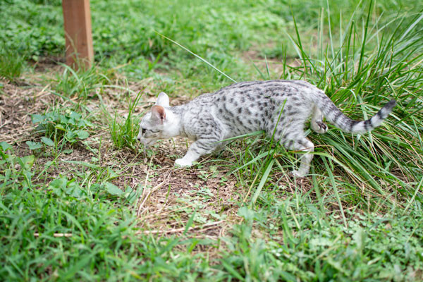 F3 Female Savannah Kitten