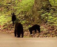 Black Bears in Gatlinburg