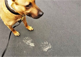 Bear prints compared to dog