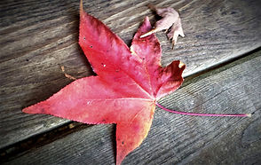 Red and yellow autumn leaf lying on a wooden deck