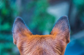 dog with ears up from behind