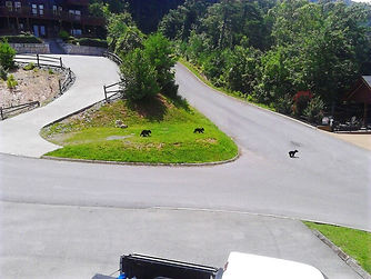 3 bear cubs crossing street