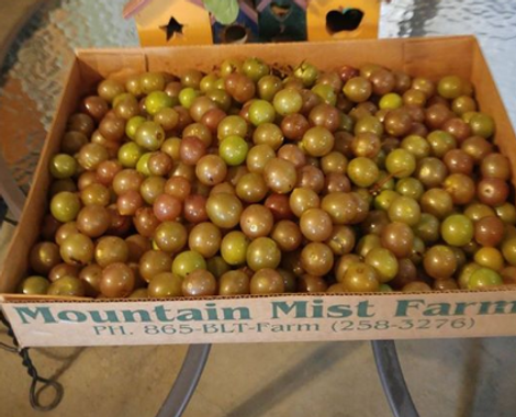 Mountain Mist Farms muscadine grapes, fresh picked in a box