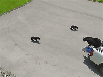 Mama bear and babies find truck