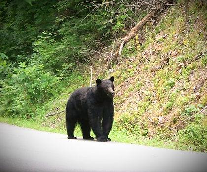 black bear in Gatlinburg, Tennessee Sky Harbor