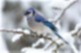 beautiful winter blue bird closeup
