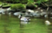 Wild mallard duck on creek, Gatlinburg Trail, in Gatlinburg Tennessee
