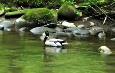 Wild mallard duck on creek, Gatlinburg Trail, in Gatlinburg Tennessee