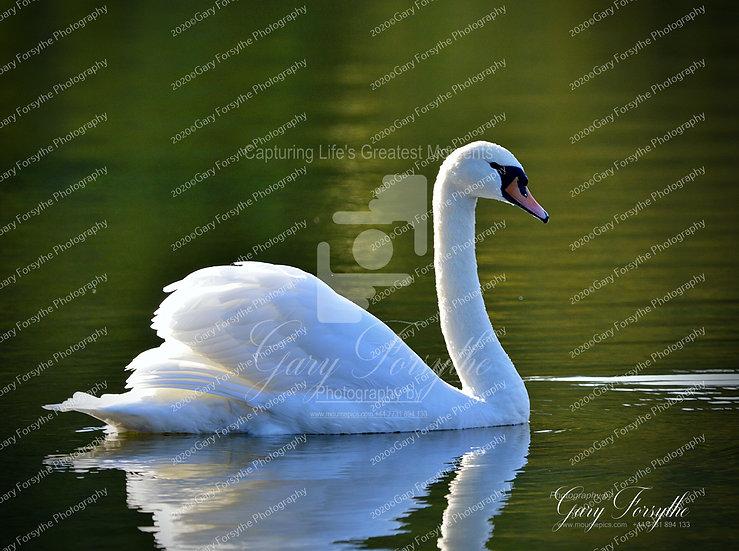Swan lake - Montalto - Ireland