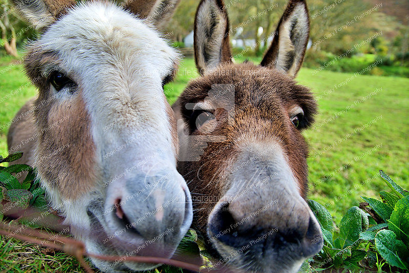 Donkey Business - Ireland