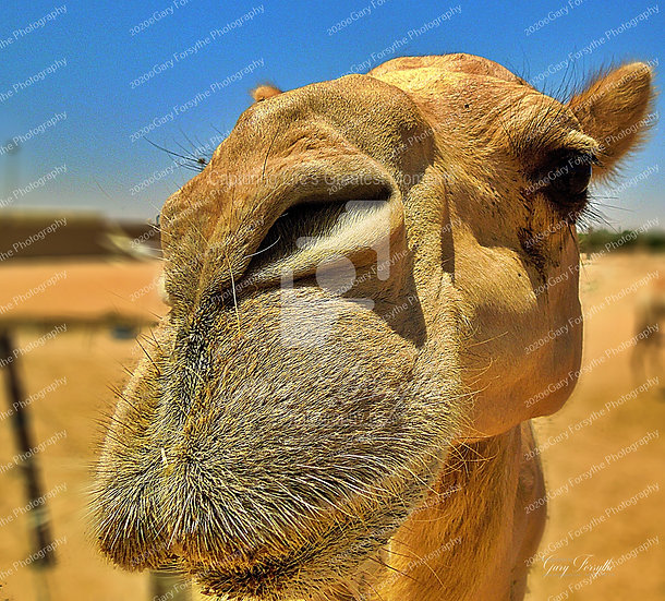 Desert Gold - UAE. Middle East.