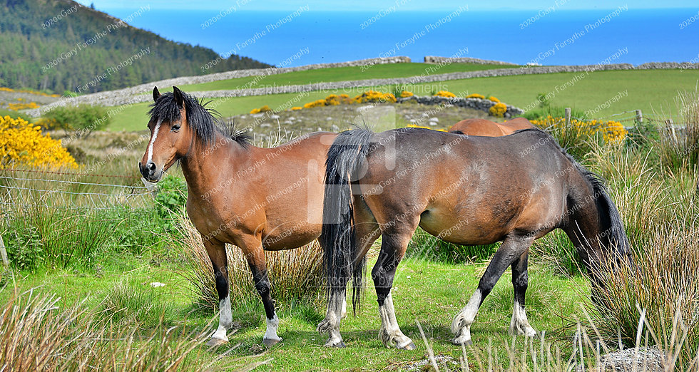 The 'Mourne' Ponies - Mountains of 'Mourne' - Ireland