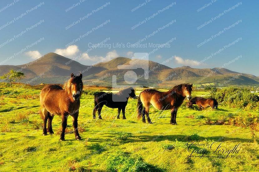 Wild 'Mourne' Ponies - Ireland
