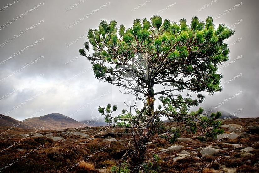 The 'Mourne Shannagh' Tree - Ireland