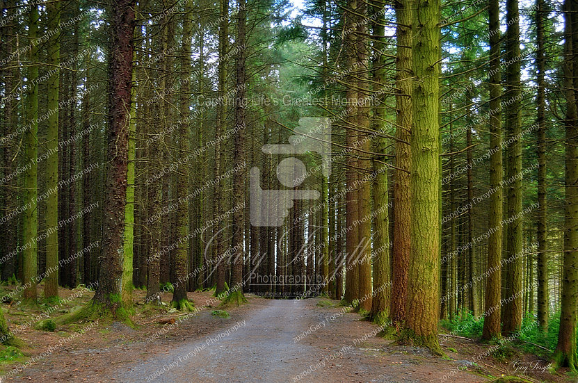 The 'Magic Forest' - Ireland