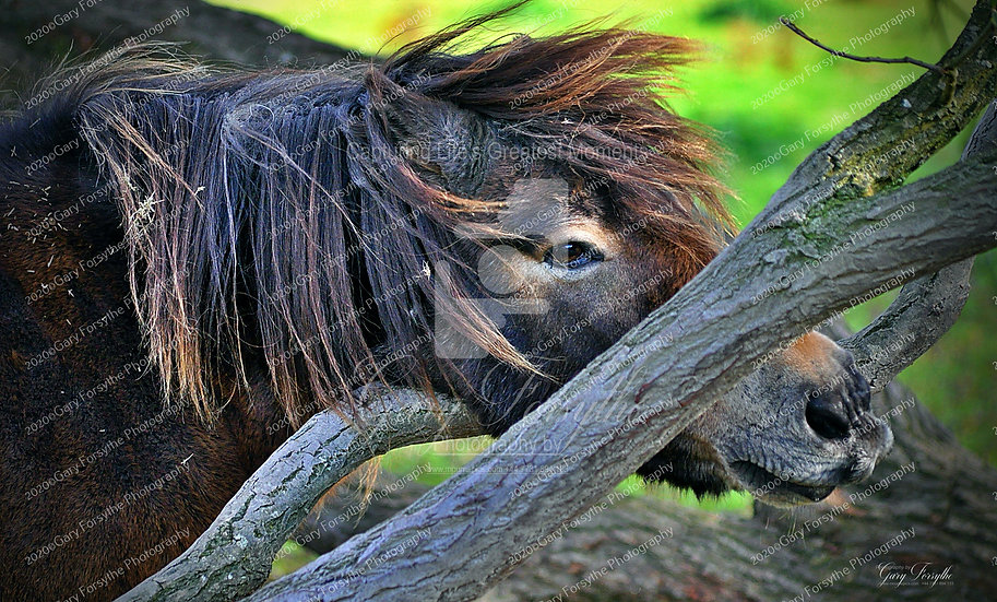 Scratch That Chin - Wild 'Mourne' Pony - Ireland