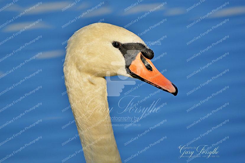 Natural Beauty - Swan Lake