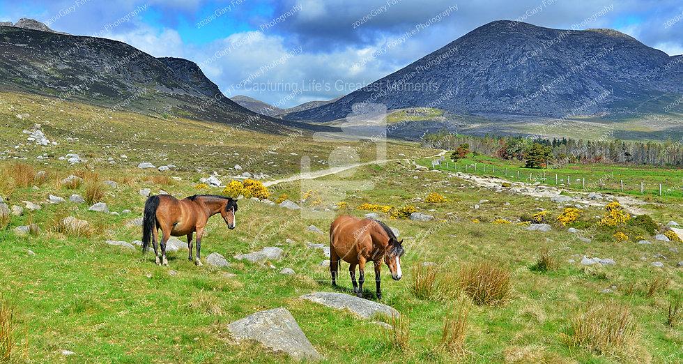 'Mourne' Ponies - Ireland