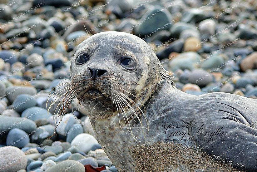 'Sammy' -  Baby Grey Seal - Ireland