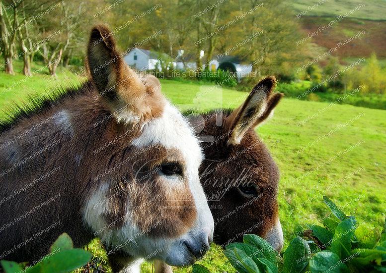 Cute Irish Donkeys - Ireland