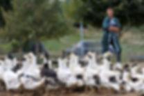 agriculteur et ses canards